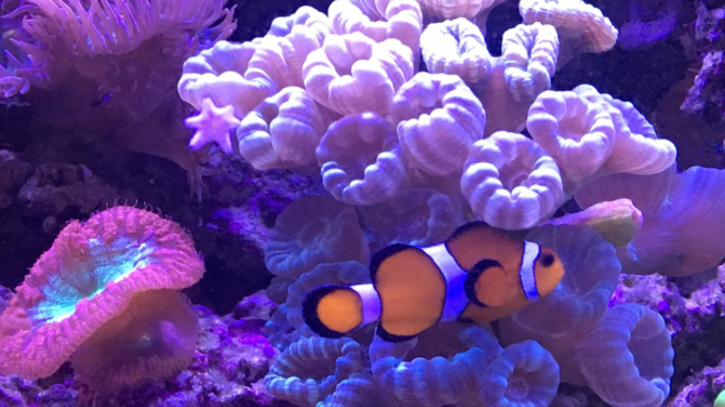 Clownfish Hosting Hammer Coral - Top 4 Facts about Hammer Coral