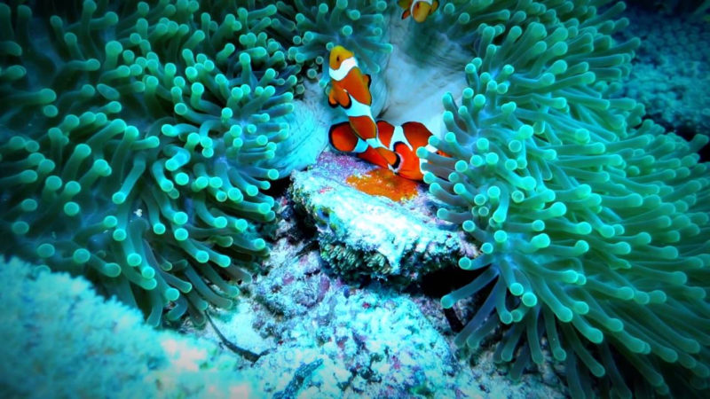 3 Interesting Facts About How Clownfish Laying Eggs