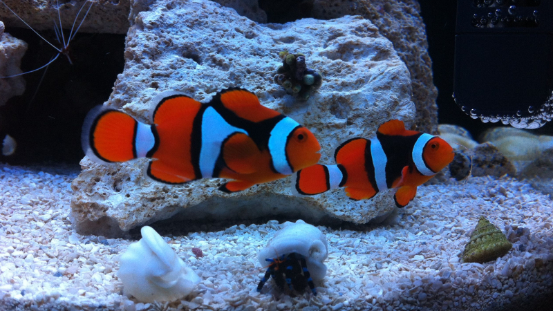 Exclusive: Top 3 Fascinating Facts About Clownfish Pair