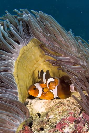 Clownfish pairing