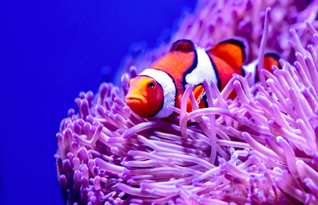 Clownfish Sleeping In Anemone