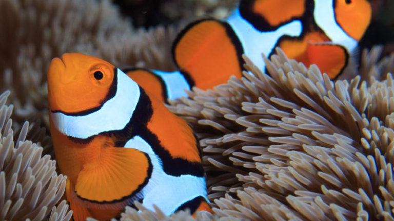 Clownfish Sleeping In Anemone - Do You Know? (Top 2 Facts)