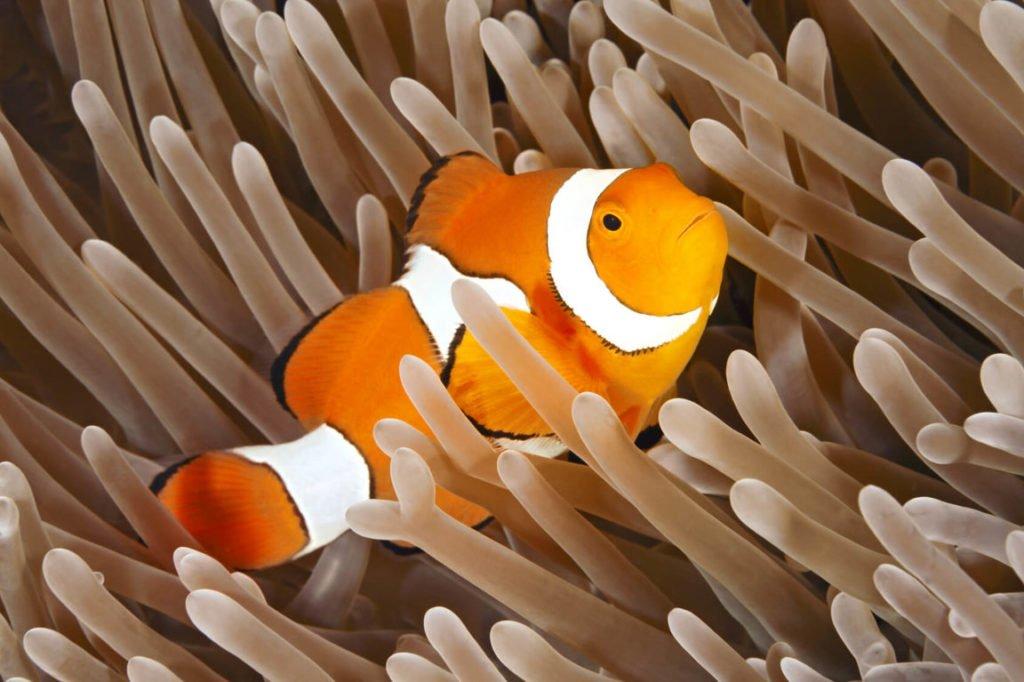 Clownfish - Wild Animals News & Facts