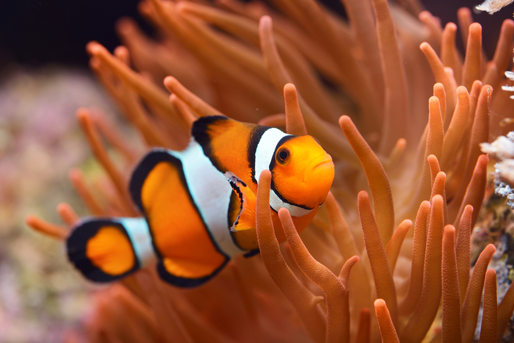 Common Problems With Clown Fish