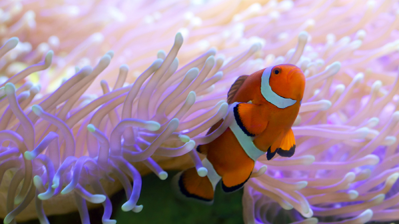 Coral Beauty Angelfish With Clownfish? (Top 2 Facts)