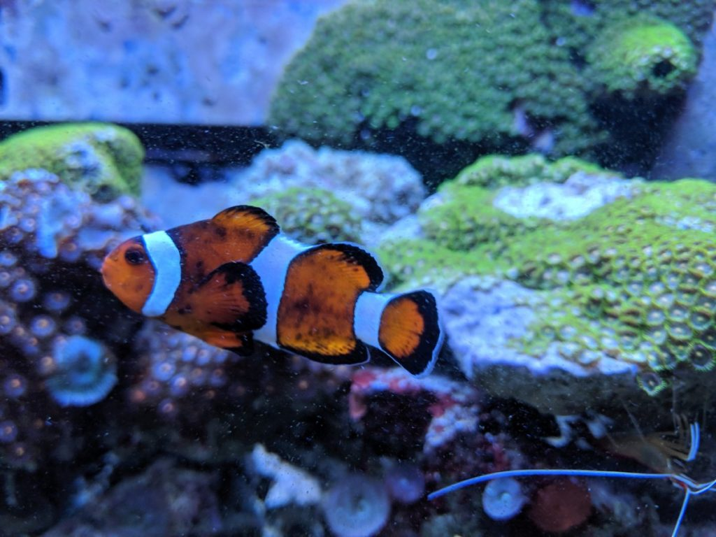 Coral Beauty Angelfish With Clownfish