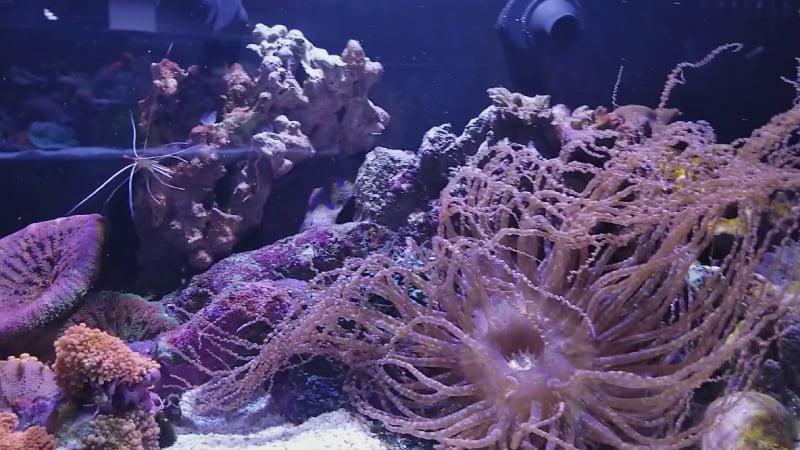Corkscrew Sea Anemone