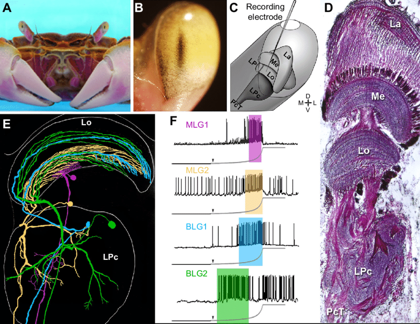 Crab's Brain Encodes Complex Memories