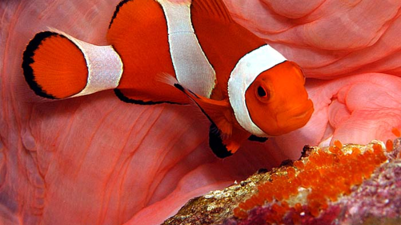 Do Clownfish Eat Their Babies And Eggs? (Amazing Fact)