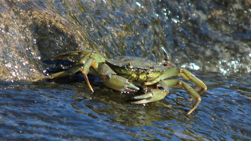 Do Emerald Crabs Eat Coral?: A New Topic Of Concern