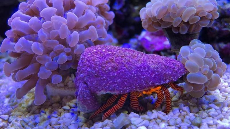Do Hermit Crabs Eat Coral? (The Best Diet For Hermit Crabs)
