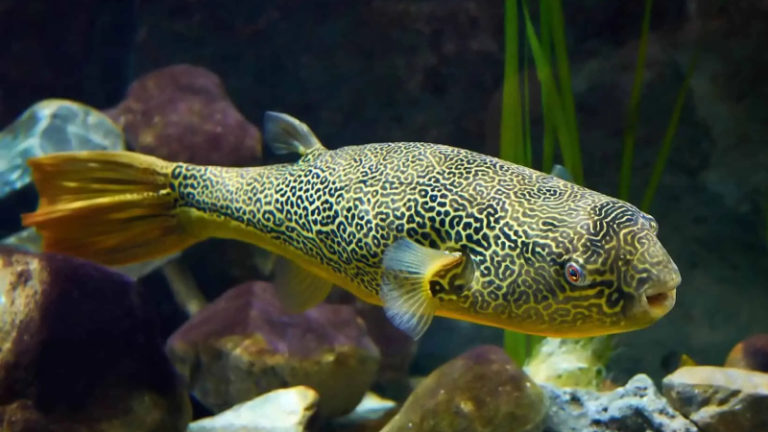 Do Puffer Fish Eat Crabs? Top 5 Impressed Facts About Puffer Fish