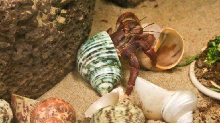 Do Saltwater Hermit Crabs Need Bigger Shells? (Best Sizes)