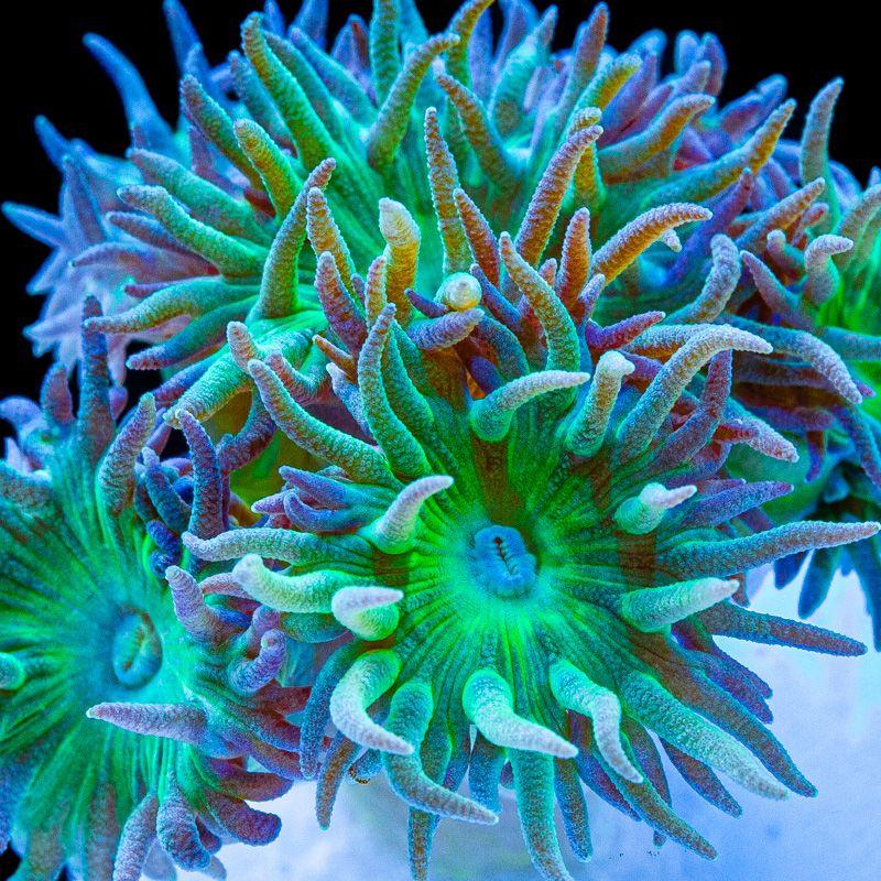 Ducan Corals