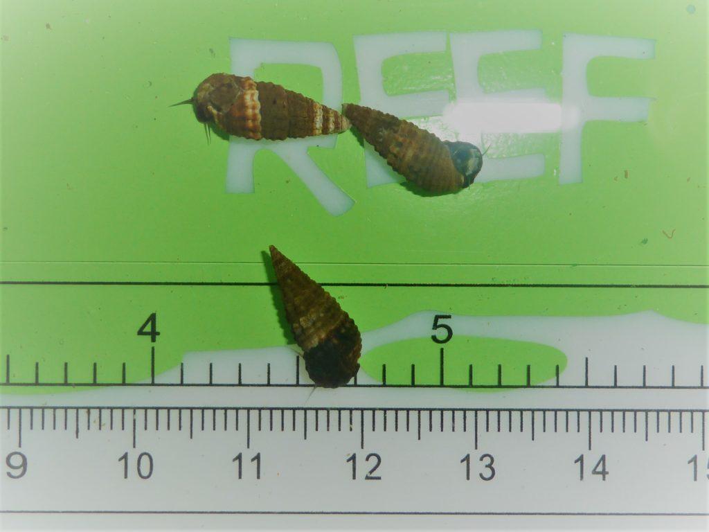 DwarfCerith Snails