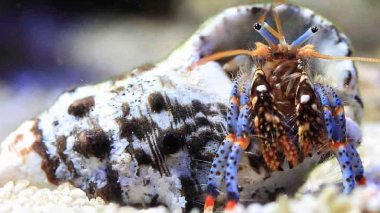 Electric Blue Hermit Crab Lifespan - Top 6 Interesting Secret