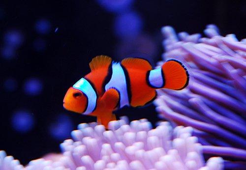 Enrich Baby Brine Shrimp To Feeding Baby Clownfish