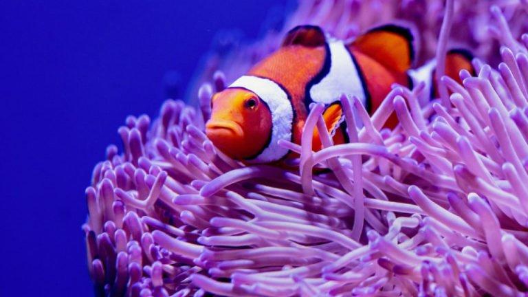 Feeding Baby Clownfish