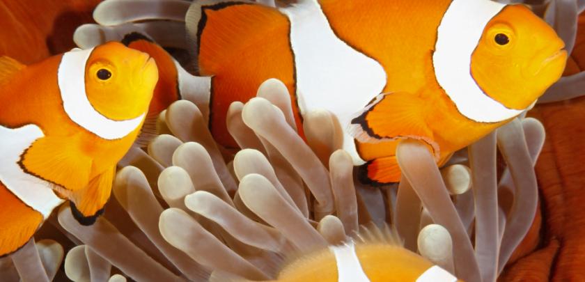 Feeding Baby Clownfish When They Hatch