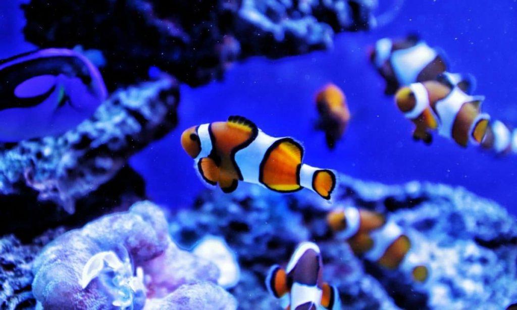 Feeding Clownfish