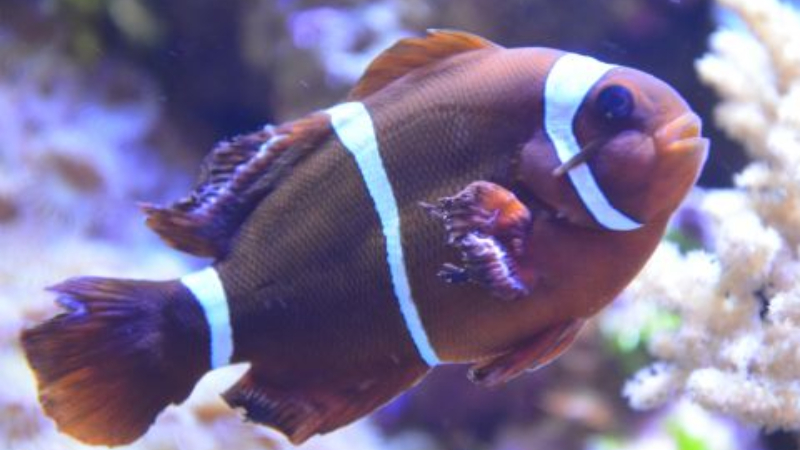 7 Process To Give Freshwater Dip Clownfish And Top 3 Tips