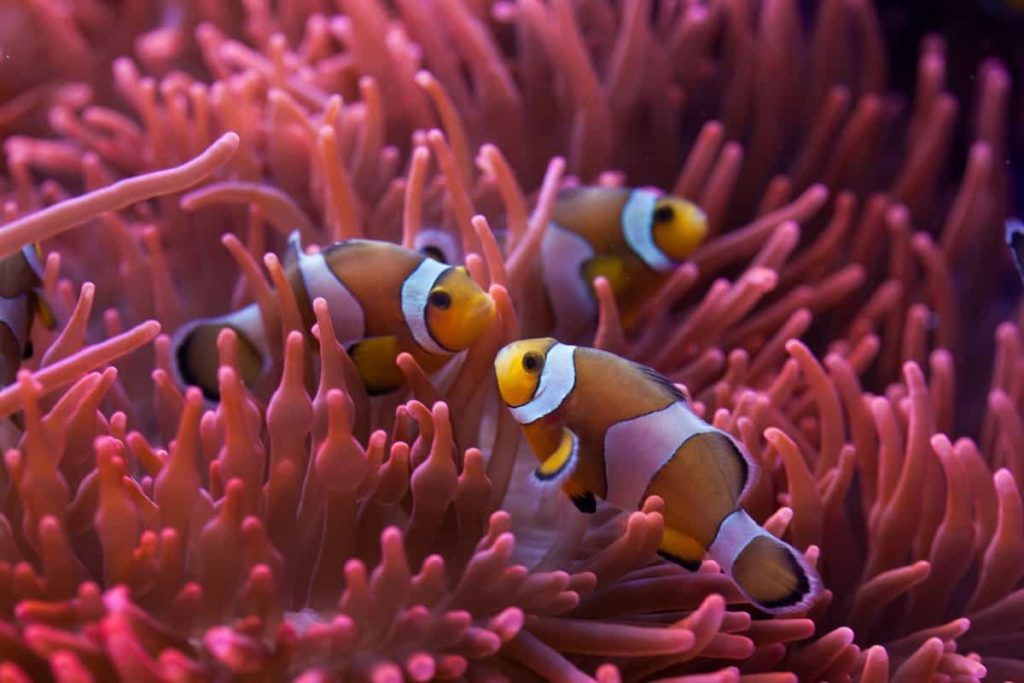 Hammer coral suitable for Clownfish