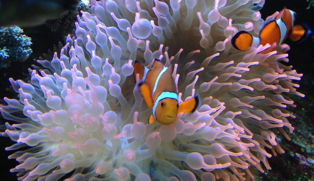 Hardy Anemone For Clownfish