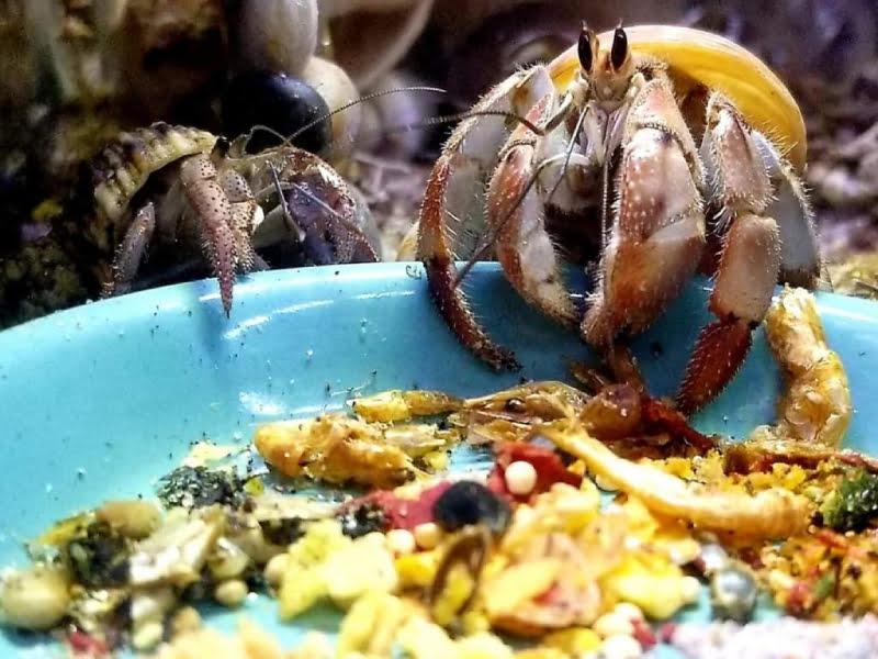 Hermit crabs are omnivores