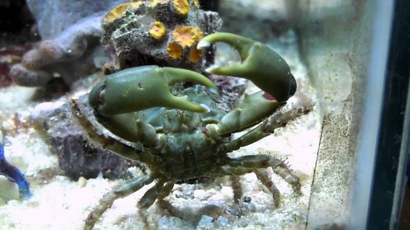 How Big Do Emerald Crabs Get? How To Take Care Of Them?