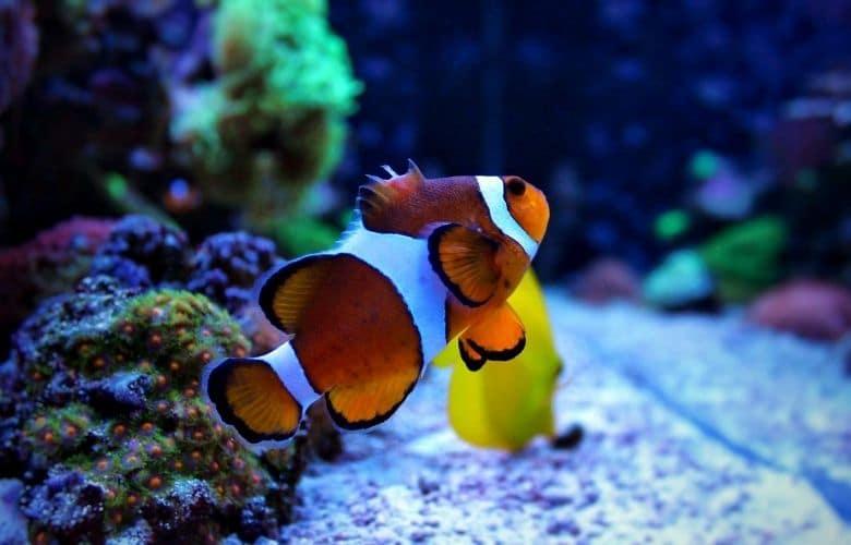How Fast Do Clownfish Grow?