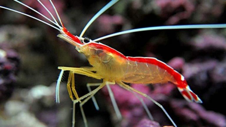 how long do cleaner shrimp live
