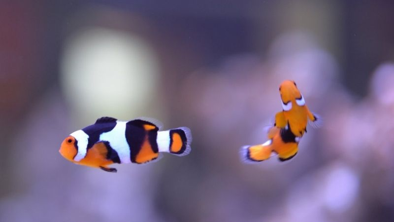 how many clownfish can you have in a tank