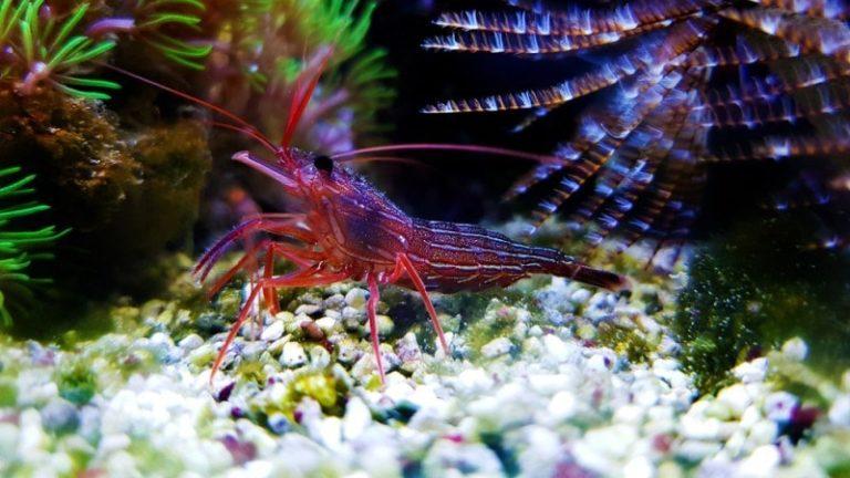 How Many Peppermint Shrimp Per Gallon? - Care Guide