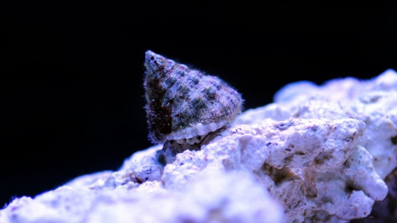 How To Acclimate Snails Saltwater? (7 Easy Steps)