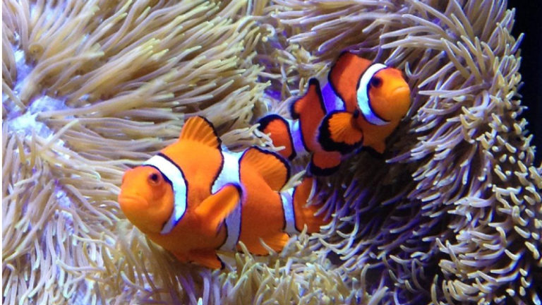 Definitive Guide On How To Breed Clownfish?