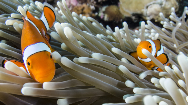 How To Get Clownfish To Go Into Anemone? (7 Easy Tips)