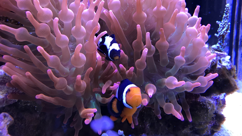 How To Get Clownfish To Host Anemone? (7 Easy Tips & Tricks)