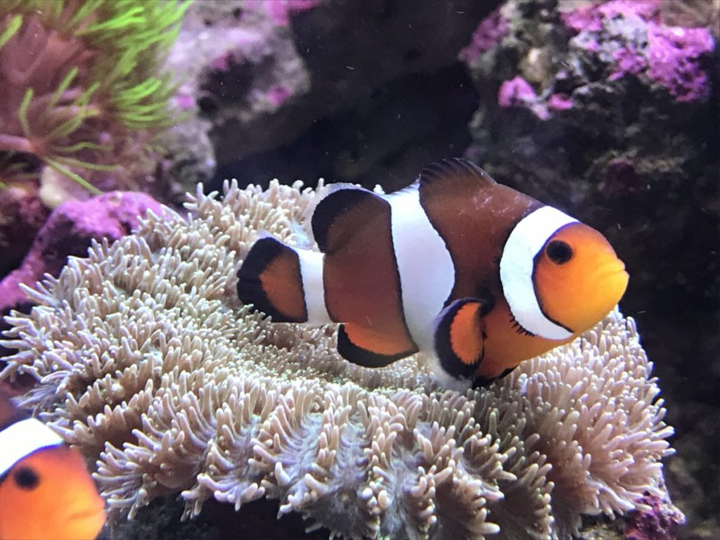 How To Give Freshwater Dip Clownfish Or Bath