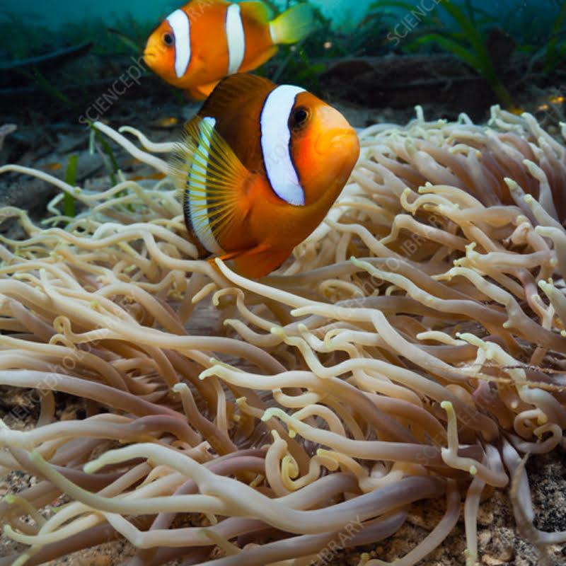 Leather Sea Anemones