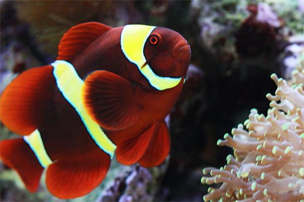 Maroon Clownfish Aggressive