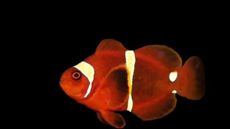 4 Interesting Facts About The Maroon Clownfish Lifespan