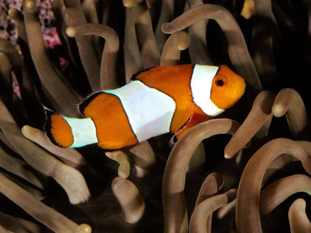 Mating habits of clownfish