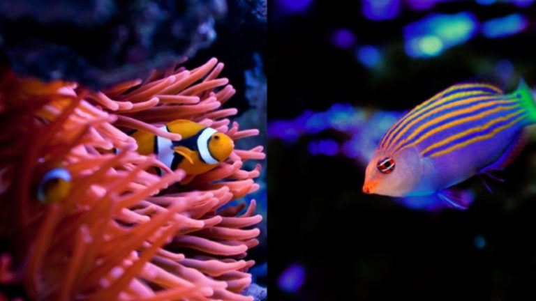 Mixing Clownfish In Same Tank - Top 4 Facts About Clownfish