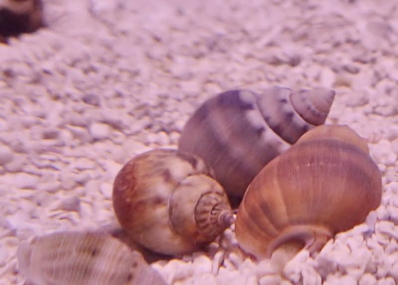 Nassarius snails do not eat other snails