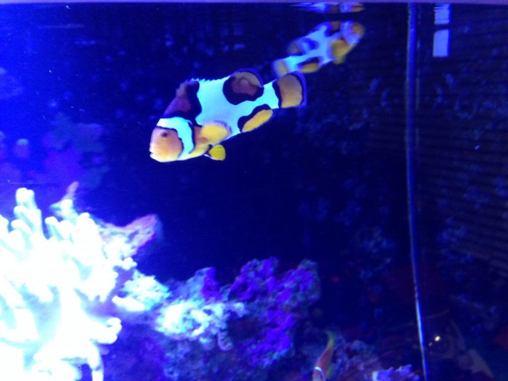 normal clownfish behavior