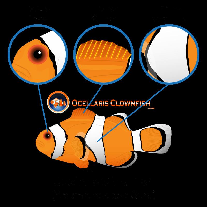False Percula Clownfish