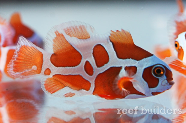 Overview About Peacekeeper Maroon Clownfish