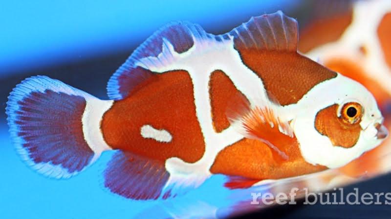 Peacekeeper Maroon Clownfish: 4 Awesome Secrets