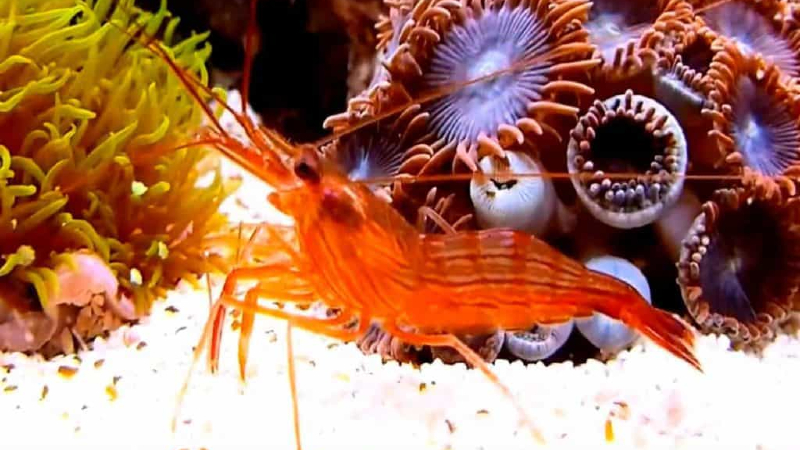 What Is Peppermint Shrimp Lifespan? - Ultimate Care Guide