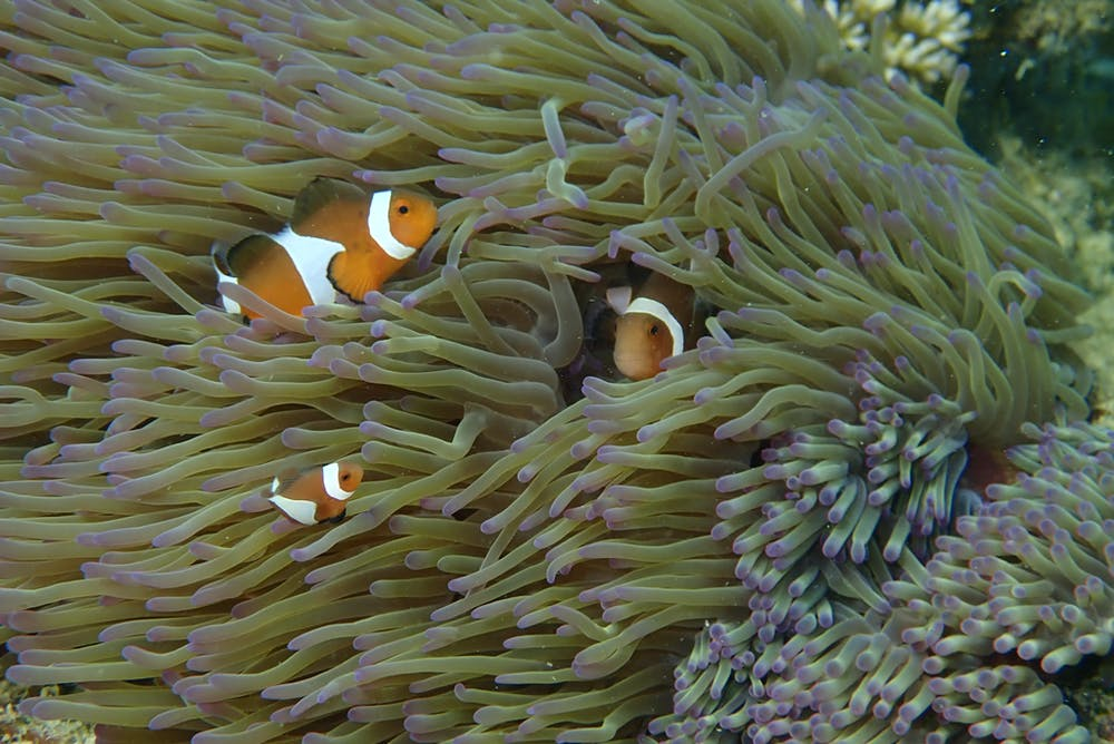 Place that clownfish lay their eggs
